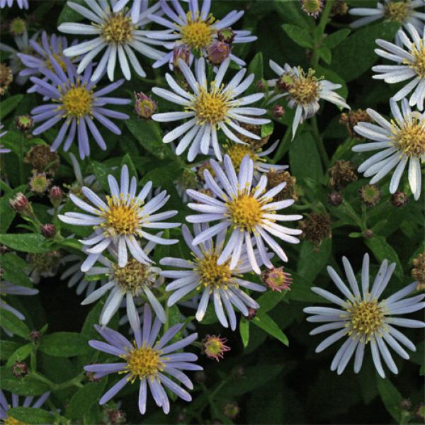 Aster ageratoides 'Asran' - Wild-Aster