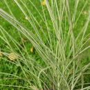 Miscanthus sinensis 'Morning Light' - Chinaschilf