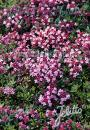 Thymus serpyllum 'Magic Carpet' - Teppich-Thymian